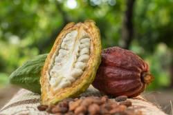 Tout savoir sur la culture du cacaoyer